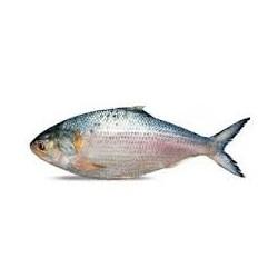 Hilsa / Ilish Fish 1.3-1.5Kg